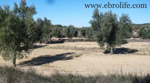Detalle de Finca de olivos y almendros en producción con olivos por 27.000€