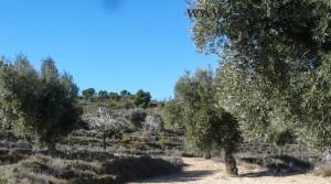 Finca de olivos y almendros en producción para vender con masía