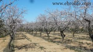 Detalle de Finca de olivos y almendros en producción con almendros