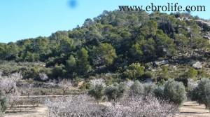 Finca de olivos y almendros en producción a buen precio con olivos por 27.000€