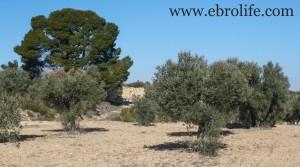 Finca a 7 km de Fabara en oferta con olivos por 7.000€