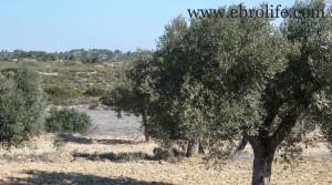 Se vende Finca a 7 km de Fabara con olivos por 7.000€