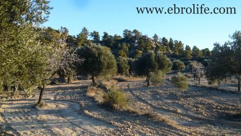 Finca de olivos autóctonos