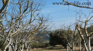 Chalet en Fayón en oferta con olivos