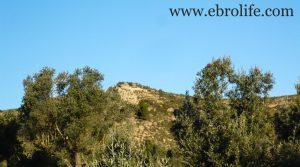Vendemos Finca de olivar centenario en Maella con olivos