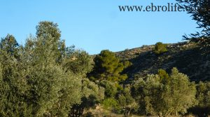 Finca de olivar centenario en Maella para vender con pinares por 7.500€