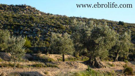 Finca de olivar centenario en Maella