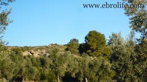 Finca de olivar centenario en Maella para vender con olivos por 7.500€