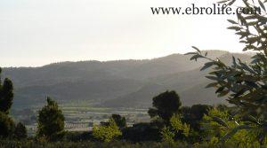 Finca de olivar centenario en Maella en oferta con olivos