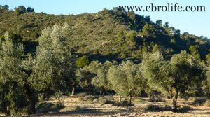 Finca de olivar centenario en Maella en oferta con pinares por 7.500€