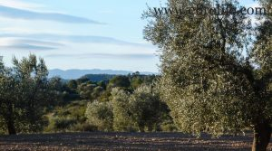 Foto de Finca de olivar centenario en Maella en venta con olivos por 7.500€