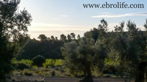 Foto de Finca de olivar centenario en Maella en venta con pinares por 7.500€