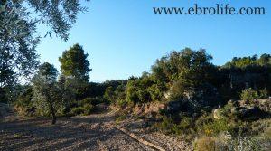 Finca de olivar centenario en Maella a buen precio con olivos por 7.500€