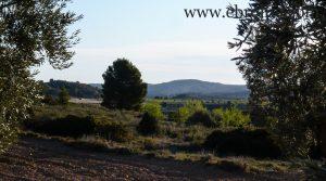 Detalle de Finca de olivar centenario en Maella con olivos