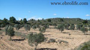 Se vende Finca de olivos en Fabara con río por 17.000€