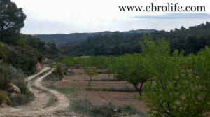Finca de almendros en Maella a buen precio con olivos