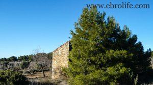Finca de olivos y almendros en Maella en oferta con olivos