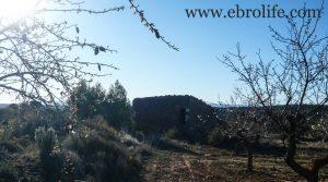 Detalle de Finca de olivos y almendros en Maella con secano