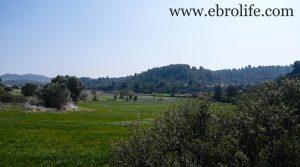 Finca de olivos y almendros en Calaceite a buen precio con olivos por 85.000€