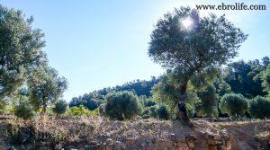 Vendemos Finca de regadío con masía en Batea con olivos por 22.000€