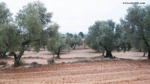 Finca rústica en Calaceite para vender con olivos por 33.000€