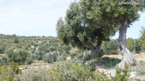 Se vende Finca rústica de olivos en Valdealgorfa con masía por 36.000€