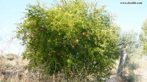 Finca rústica en Caspe a buen precio con otros frutales por 22.000€