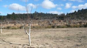 Finca de nogales y olivos en producción en Calaceite