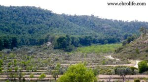 Foto de Finca de almendros en Maella con almendros