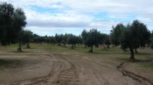 Se vende Olivar en Arens de Lledó con masía