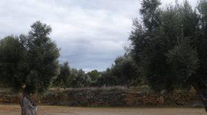 Foto de Olivar en Arens de Lledó con plena producción por 33.000€