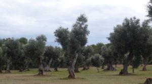 Foto de Olivar en Arens de Lledó en venta con plena producción