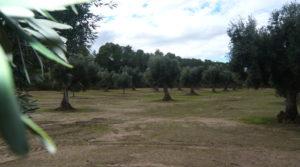 Olivar en Arens de Lledó para vender con plena producción por 33.000€