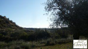 Finca de olivos en Caspe a buen precio con olivos autóctonos por 14.000€