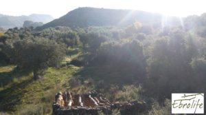 Detalle de Huerto en Caspe de olivos autóctonos con zona de pesca con olivos autóctonos