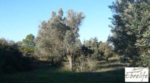 Se vende Huerto en Caspe de olivos autóctonos con zona de pesca con olivos autóctonos