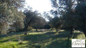 Huerto en Caspe de olivos autóctonos con zona de pesca a buen precio con olivos autóctonos