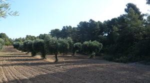 Foto de Olivar en Arens de Lledo en venta con olivos autóctonos