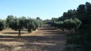 Olivar en Arens de Lledo a buen precio con olivos autóctonos