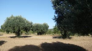 Olivar en Arens de Lledo en venta con olivos autóctonos