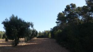 Olivar en Arens de Lledo para vender con olivos autóctonos por 16.000€
