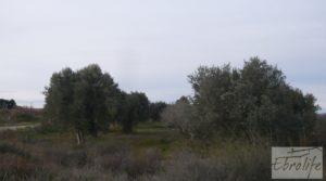 Detalle de Huerta de olivos en Caspe. con olivos autóctonos por 9.000€