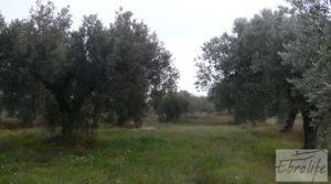 Foto de Huerta de olivos en Caspe. con huerta
