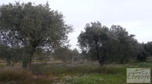 Detalle de Huerta de olivos en Caspe. con olivos autóctonos