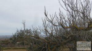 Huerta de olivos en Caspe. en venta con olivos autóctonos