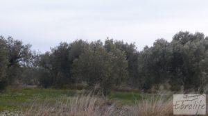 Huerta de olivos en Caspe. a buen precio con olivos autóctonos por 9.000€
