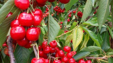 Plantación de cerezos en plena producción en Caspe.