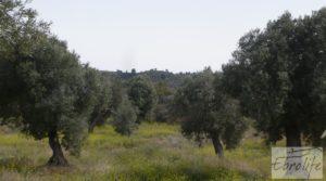 Olivar con masía rústica en Maella. en venta con olivar