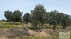 Foto de Olivar con masía rústica en Maella. en venta con olivar por 22.000€