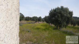 Vendemos Olivar con masía rústica en Maella. con olivar